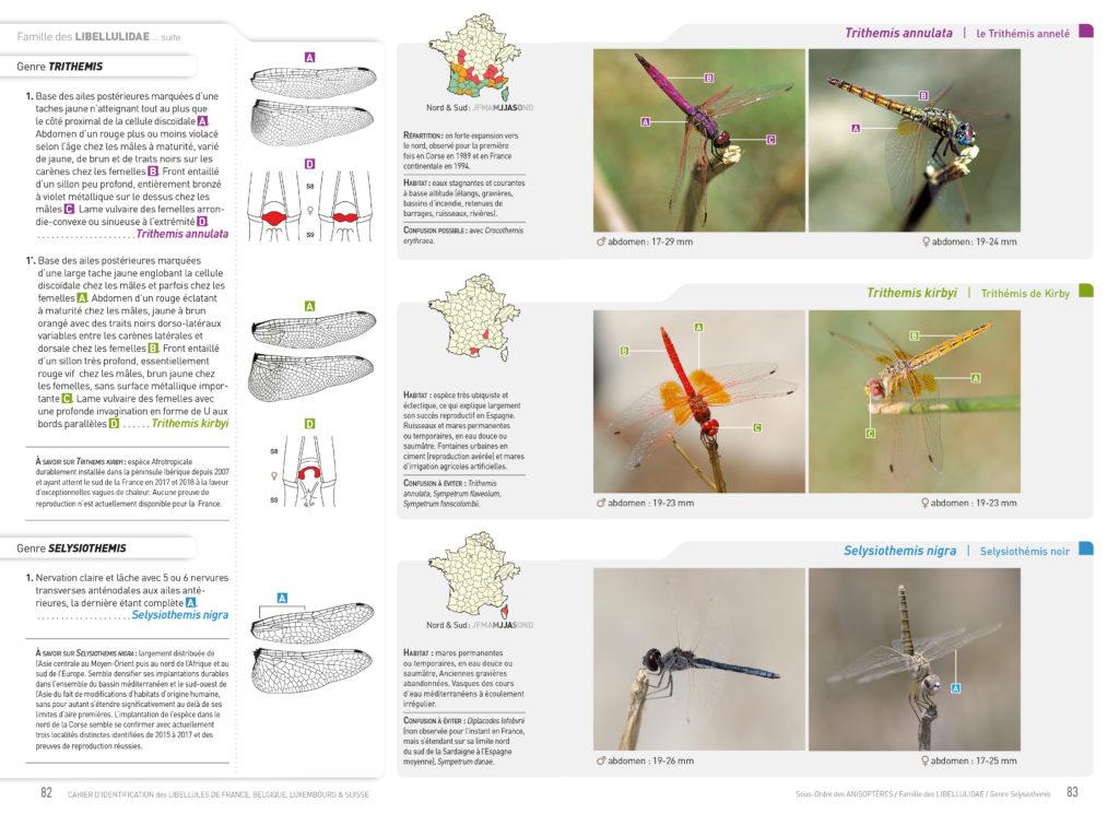 Trithemis kirbyi, libellule Afrotropicale